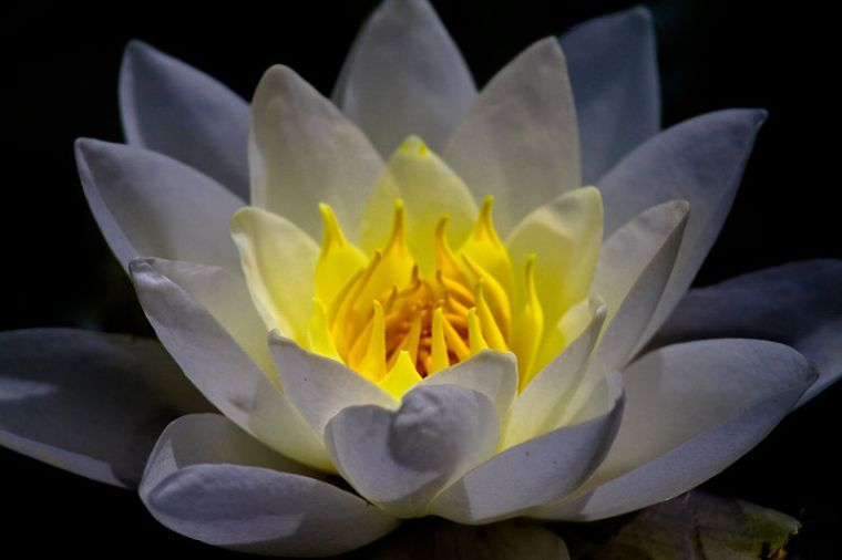 800px-Lightning_waterlily